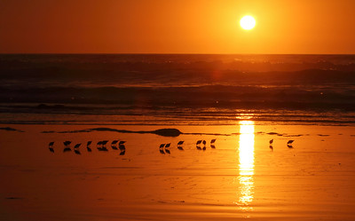 Snowy Plover Sunset