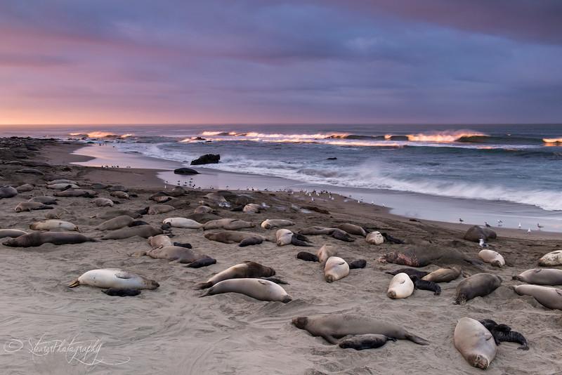Golden Morning - Elephant Seals of Piedras Blancas, CA