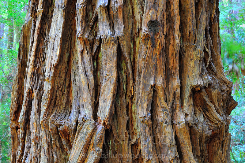 Redwood Detail