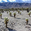 Field of Cholla Cactus