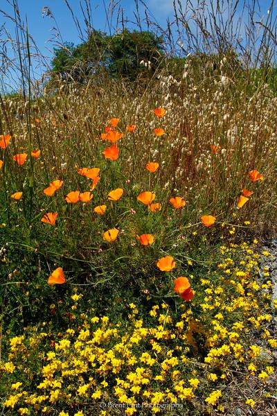 DF.2702 - yellow vetch and California poppy, Del Norte County, CA.