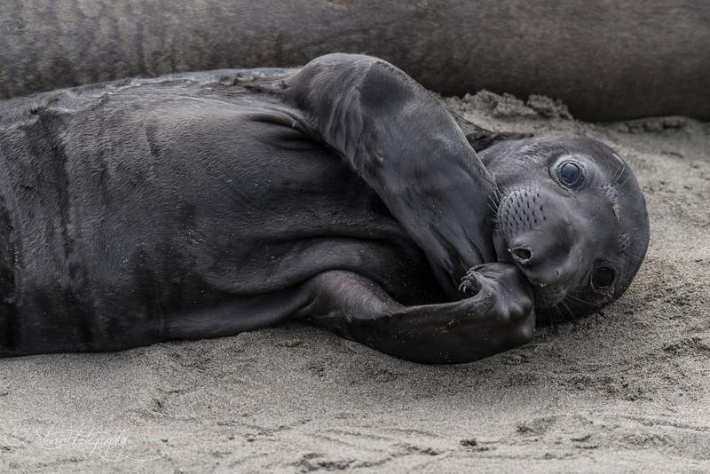 Cutie Pie - Elephant Seals of Piedras Blancas, CA