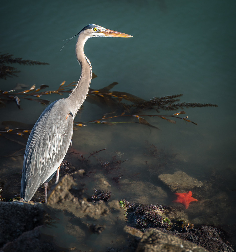 Morro Bay Heron