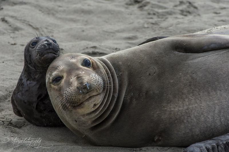 Curious - Elephant Seals of Piedras Blancas, CA