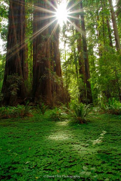 DF.2757 - redwood sorel and redwood trunks with sunburst, Humboldt Redwoods State Park, CA.
