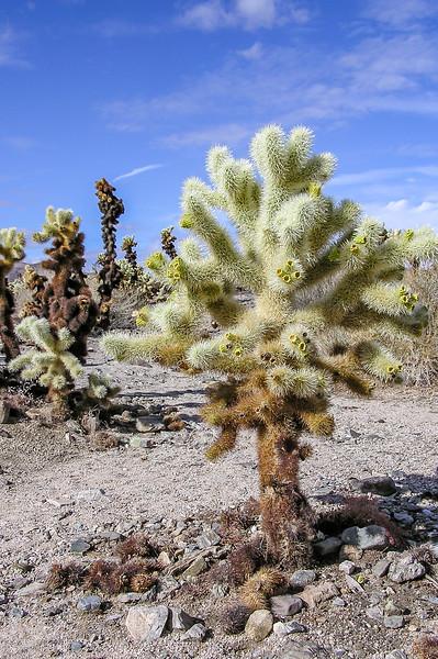 Cholla Cactus Plant