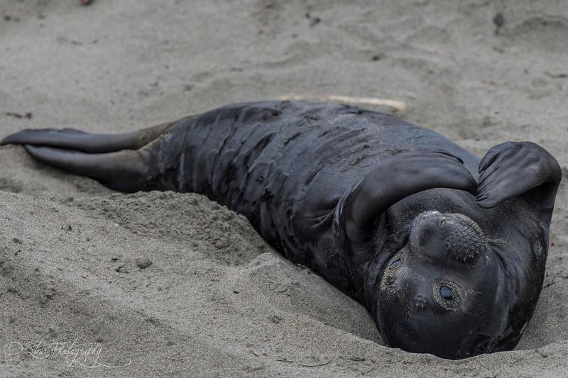 Good Morning - Elephant Seals of Piedras Blancas, CA
