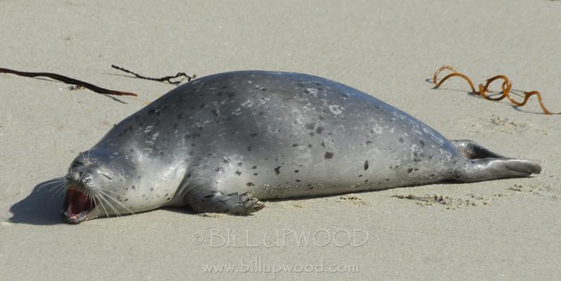 Seal on California Beach