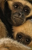 Gibbon Mom and Baby-4128