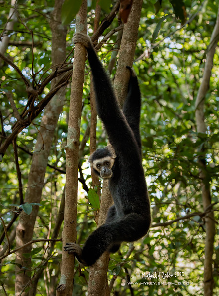 Gibbon Male-4162