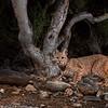 My first bobcat image