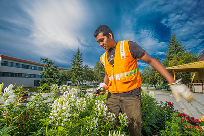 Armando Arauz culls flowers from the bed in front of Wood Center on his morning duties with the Facilities Services summer grounds crew.  Filename: CAM-12-3481-1.jpg