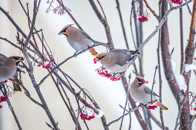 Bohemian waxwings feed on berries outside the Eielson Building on a November afternoon.  Filename: CAM-13-4006-26.jpg