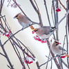 """Bohemian waxwings feed on berries outside the Eielson Building on a November afternoon.  <div class=""""ss-paypal-button"""">Filename: CAM-13-4006-26.jpg</div><div class=""""ss-paypal-button-end"""" style=""""""""></div>"""
