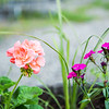 """Flowers decorate the Fairbanks campus on a June afternoon.  <div class=""""ss-paypal-button"""">Filename: CAM-16-4917-64.jpg</div><div class=""""ss-paypal-button-end""""></div>"""