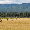 "Migrating sandhill cranes congregate in the agricultural fields on the UAF Fairbanks campus in August 2015.  <div class=""ss-paypal-button"">Filename: CAM-15-4620-103.jpg</div><div class=""ss-paypal-button-end""></div>"