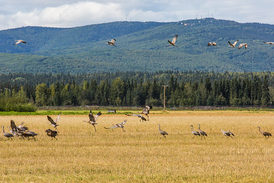 Migrating sandhill cranes congregate in the agricultural fields on the UAF Fairbanks campus in August 2015.  Filename: CAM-15-4620-103.jpg