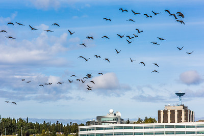 Migrating sandhill cranes congregate in the agricultural fields on the Fairbanks campus before starting their long annual trip to their winter homes in the Lower 48 and Mexico.  Filename: CAM-15-4620-131.jpg