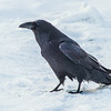 "Ravens are a frequent sight throughout the year on the Fairbanks campus.  <div class=""ss-paypal-button"">Filename: CAM-14-4039-28.jpg</div><div class=""ss-paypal-button-end""></div>"