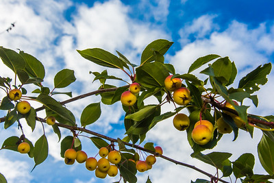 Miniature apples ripen on a tree near the lower residence halls during Orientation Week on the Fairbanks campus at the start of the fall 2015 semester.  Filename: CAM-15-4638-083.jpg