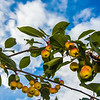 "Miniature apples ripen on a tree near the lower residence halls during Orientation Week on the Fairbanks campus at the start of the fall 2015 semester.  <div class=""ss-paypal-button"">Filename: CAM-15-4638-083.jpg</div><div class=""ss-paypal-button-end""></div>"