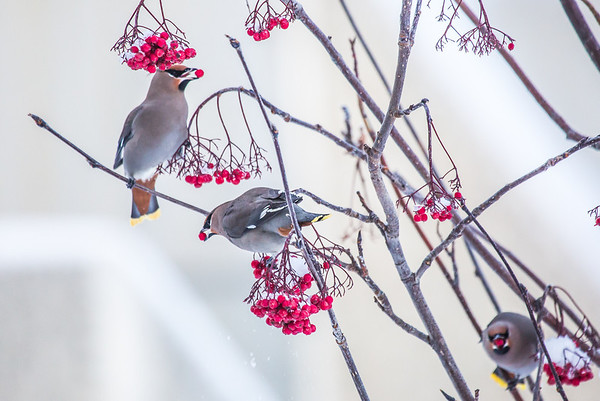 "Bohemian waxwings feed on berries outside the Eielson Building on a November afternoon.  <div class=""ss-paypal-button"">Filename: CAM-13-4006-25.jpg</div><div class=""ss-paypal-button-end"" style=""""></div>"