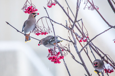 Bohemian waxwings feed on berries outside the Eielson Building on a November afternoon.  Filename: CAM-13-4006-25.jpg