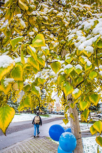 The fall's first snowfall sticks to the leaves on a birch tree near Constitution Park on the Fairbanks campus.  Filename: CAM-13-3944-24.jpg