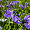 """Iris blossoms decorate the entrance of the Eielson Building at the Fairbanks campus in summer.  <div class=""""ss-paypal-button"""">Filename: CAM-18-5826-140.jpg</div><div class=""""ss-paypal-button-end""""></div>"""