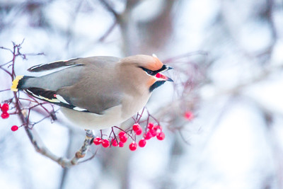 A Bohemian waxwing enjoys some late autumn berries from a tree near Signers' Hall on a November afternoon.  Filename: CAM-13-4003-32.jpg
