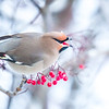 "A Bohemian waxwing enjoys some late autumn berries from a tree near Signers' Hall on a November afternoon.  <div class=""ss-paypal-button"">Filename: CAM-13-4003-32.jpg</div><div class=""ss-paypal-button-end"" style=""""></div>"