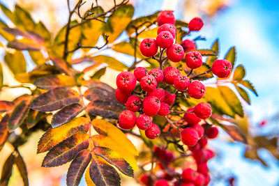 Fall colors abound on the Fairbanks campus.  Filename: CAM-13-3972-42.jpg
