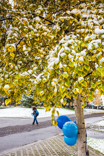 """The fall's first snowfall sticks to the leaves on a birch tree near Constitution Park on the Fairbanks campus.  <div class=""""ss-paypal-button"""">Filename: CAM-13-3944-8.jpg</div><div class=""""ss-paypal-button-end"""" style=""""""""></div>"""