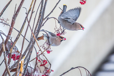 Bohemian waxwings feed on berries outside the Eielson Building on a November afternoon.  Filename: CAM-13-4006-21.jpg