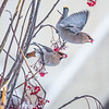 "Bohemian waxwings feed on berries outside the Eielson Building on a November afternoon.  <div class=""ss-paypal-button"">Filename: CAM-13-4006-21.jpg</div><div class=""ss-paypal-button-end"" style=""""></div>"