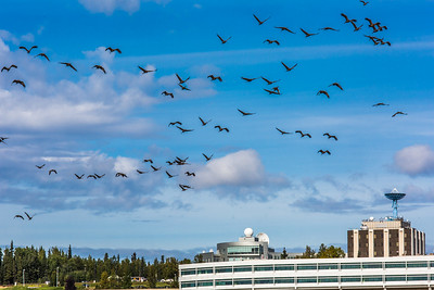 Migrating sandhill cranes congregate in the agricultural fields on the Fairbanks campus before starting their long annual trip to their winter homes in the Lower 48 and Mexico.  Filename: CAM-15-4620-130.jpg