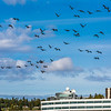 "Migrating sandhill cranes congregate in the agricultural fields on the Fairbanks campus before starting their long annual trip to their winter homes in the Lower 48 and Mexico.  <div class=""ss-paypal-button"">Filename: CAM-15-4620-130.jpg</div><div class=""ss-paypal-button-end""></div>"