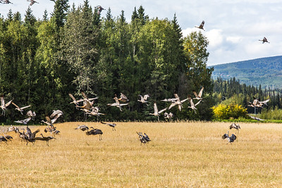 Migrating sandhill cranes congregate in the agricultural fields on the Fairbanks campus before starting their long annual trip to their winter homes in the Lower 48 and Mexico.  Filename: CAM-15-4620-107.jpg