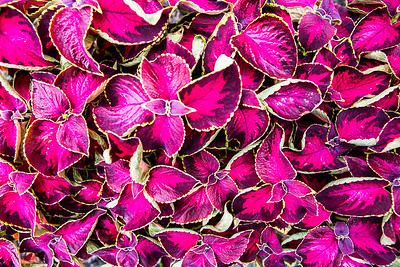 Pink Coleus plants are seen throughout campus.  Filename: CAM-16-4917-61.jpg