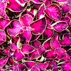 "Pink Coleus plants are seen throughout campus.  <div class=""ss-paypal-button"">Filename: CAM-16-4917-61.jpg</div><div class=""ss-paypal-button-end""></div>"