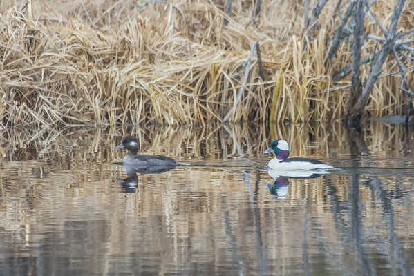 """A pair of ducks cruise around a pond off Sheep Creek Road on the Fairbanks campus.  <div class=""""ss-paypal-button"""">Filename: CAM-14-4174-192.jpg</div><div class=""""ss-paypal-button-end""""></div>"""