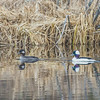 "A pair of ducks cruise around a pond off Sheep Creek Road on the Fairbanks campus.  <div class=""ss-paypal-button"">Filename: CAM-14-4174-192.jpg</div><div class=""ss-paypal-button-end""></div>"