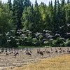 "Migrating sandhill cranes congregate in the agricultural fields on the Fairbanks campus before starting their long annual trip to their winter homes in the Lower 48 and Mexico.  <div class=""ss-paypal-button"">Filename: CAM-15-4620-108.jpg</div><div class=""ss-paypal-button-end""></div>"