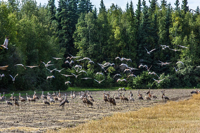 Migrating sandhill cranes congregate in the agricultural fields on the Fairbanks campus before starting their long annual trip to their winter homes in the Lower 48 and Mexico.  Filename: CAM-15-4620-108.jpg