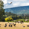 "Migrating sandhill cranes congregate in the agricultural fields on the Fairbanks campus before starting their long annual trip to their winter homes in the Lower 48 and Mexico.  <div class=""ss-paypal-button"">Filename: CAM-15-4620-105.jpg</div><div class=""ss-paypal-button-end""></div>"
