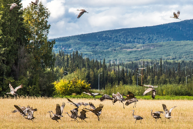 """Migrating sandhill cranes congregate in the agricultural fields on the Fairbanks campus before starting their long annual trip to their winter homes in the Lower 48 and Mexico.  <div class=""""ss-paypal-button"""">Filename: CAM-15-4620-105.jpg</div><div class=""""ss-paypal-button-end""""></div>"""