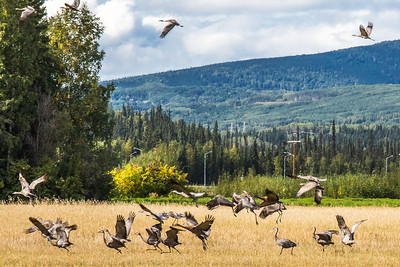 Migrating sandhill cranes congregate in the agricultural fields on the Fairbanks campus before starting their long annual trip to their winter homes in the Lower 48 and Mexico.  Filename: CAM-15-4620-105.jpg