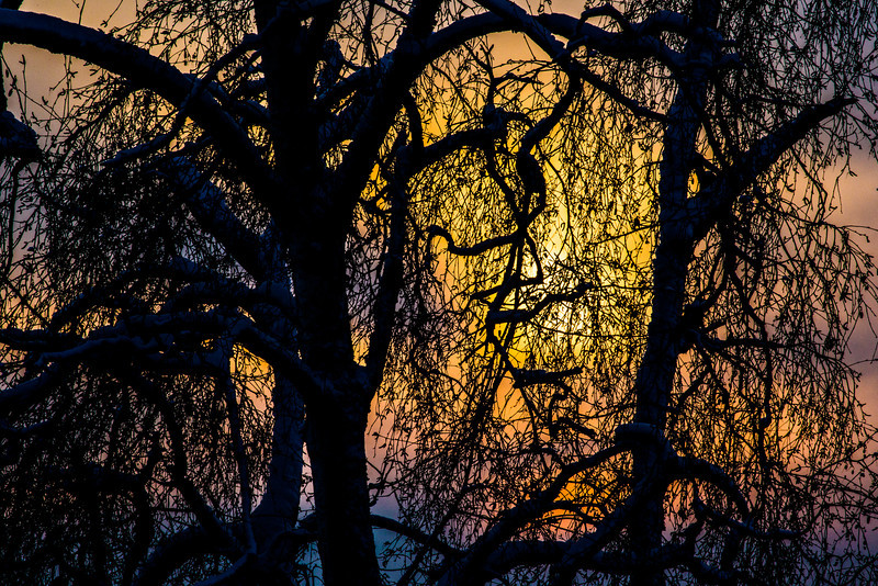"The afternoon sun sets behind a pair of trees on the UAF campus.  <div class=""ss-paypal-button"">Filename: CAM-13-4008-7.jpg</div><div class=""ss-paypal-button-end"" style=""""></div>"