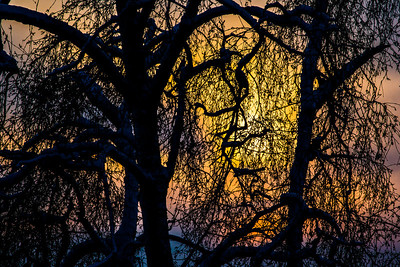 The afternoon sun sets behind a pair of trees on the UAF campus.  Filename: CAM-13-4008-7.jpg