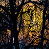 """The afternoon sun sets behind a pair of trees on the UAF campus.  <div class=""""ss-paypal-button"""">Filename: CAM-13-4008-7.jpg</div><div class=""""ss-paypal-button-end"""" style=""""""""></div>"""